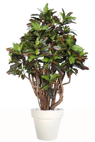 Croton Robusta